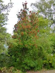 P1190388 (jrcollman) Tags: spiraea plants splant betulapendula eplant 21beechwoodgarden archived embothrium bplant