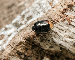 Forget-me-not Shieldbug (mickmassie) Tags: hanworth littlepark