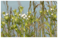 Windy weeds. (jeanne.marie.) Tags: weeds windy wind bigpond summer 100xthe2019edition 100x2019 image56100 green aqua white flowers soft