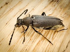 Stictoleptura scutellata (mickmassie) Tags: cerambycidae coleoptera insecta wiltshire