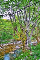 Άλνοι ψηλοί με πλατιά κλωνάρια (σαν κι αυτούς που τραγουδά ο λαός) απολαμβάνουν τη δροσιά του ρέματος (ritvank) Tags: φυτά αγγειόσπερμα δικοτυλήδονα φηγώδη σημυδοειδή άλνοσ κλήθρα σκλήθρα σκλήθροσ δέντρο ρέμα πράσινο plantae angiosperms eudicots rosids fagales betulaceae betuloideae alnus alder tree green stream йелха γιέλχα jélha outdoor