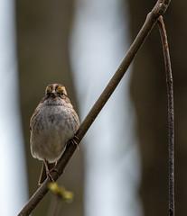 DSC_0054 (doug.metcalfe1) Tags: 2019 dougmetcalfe hollandmarshprovincialwildlifemanagementareasiderd20 nature ontario outdoor spring westgwillimbury whitethroatedsparrow bird sparrow