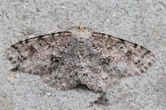 Geometrid Moth (birdsetcetera) Tags: moth berriencountymichigan insect lepidoptera mottled camouflaged gray grayish brown brownish melanolophia geometrid geometridmoth geometridae familygeometridae buchananmichigan may 2019 may2019