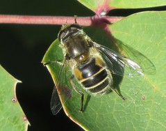 Syrphid fly (Bug Eric) Tags: animals wildlife nature outdoors insects bugs flies syrphidflies syrphidae diptera coloradosprings colorado usa female eristalis monumentvalleypark northamerica april262019