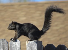 Fox Squirrel (Bug Eric) Tags: animals wildlife nature outdoors mammals rodents coloradosprings colorado usa foxsquirrel black melanistic northamerica april272019