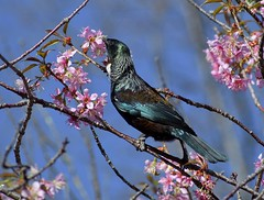 Tui at he Cherry Blossom (njohn209) Tags: birds d500 nikon nz