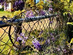 Happy Fence Friday! (+1) (peggyhr) Tags: peggyhr fence wisteria vine flowers lavender img9237a oregon usa thegalaxy thegalaxystars thegalaxyhalloffame thegalaxylevel2 thegalaxystarshof thelooklevel1red