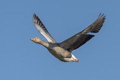 Greylag (cazalegg) Tags: greylags goose geese sky rspb titchwell marshes nikon d500