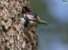 Great Spotted Woodpecker (Mick Erwin) Tags: great spotted woodpecker nest