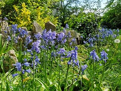 Bluebells (Simply Sharon !) Tags: bluebells flowers wildflowers springflowers nature may