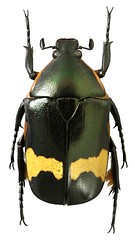 Plaesiorrhinella plana (dries.marais) Tags: coleoptera scarabaeidae cetoniinae cetoniini africa southafrica fruitchafer plaesiorrhinella plana