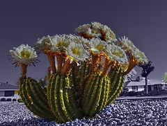 All Together Now (oybay©) Tags: suncitywest arizona az spring spring2019 color colors colorful angle pov macro cactusflower cactus night flash earthday flower flora flores fleur fiori blumen argentinegiant bokeh earth
