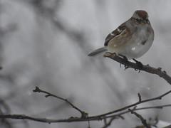 Winter Bird at or near Feeder (Pictures by Ann) Tags: winter snow bird feeder closeup sparrow tree