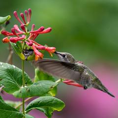 Anna's Hummingbird (Pam Brisse) Tags: hummingbird annashummingbird