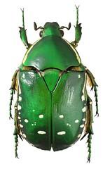 Rhabdotis aulica (dries.marais) Tags: coleoptera scarabaeidae cetoniinae cetoniini rhabdotis aulica fruitchafer