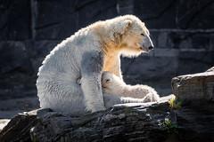 """Eisbärin """"Tonja"""" mit der kleinen """"Hertha"""" im Tierpark Berlin (Georg Brutalis) Tags: berlin eisbär friedrichsfelde polarbär tierpark tonja ursusmaritimus zoo deutschland"""