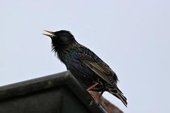 Star/Sturnus vulgaris (Manuel-B) Tags: vogel bird eos canon 80d sigma 150600mm wildlife