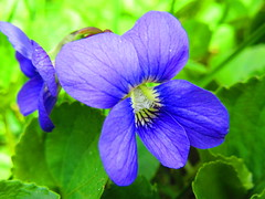 IMG_5762 5-17-2019 (PGK88) Tags: violet flower green bloom blossom blooming beautiful spring springtime nature plant closeup macro 2019