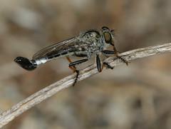 Happy Asilid Friday (cotinis) Tags: insect diptera asilidae efferia efferiaapicalis nerax neraxapicalis robberfly northcarolina coastalplain canonef100mmf28macrousm inaturalist flydayfriday howellwoods