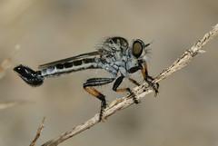 Happy Asilid Friday (cotinis) Tags: insect diptera asilidae efferia efferiaapicalis nerax neraxapicalis robberfly northcarolina coastalplain canonef100mmf28macrousm inaturalist flydayfriday howellwoods specinsect