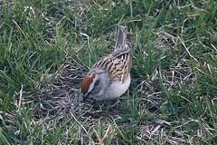 Chipping Sparrow In Front Yard 003 - Spizella Passerina (Chrisser) Tags: birds bird sparrows sparrow chippingsparrows chippingsparrow spizellapasserina nature ontario canada canoneosrebelt6i canonef75300mmf456iiiusmlens passerellidae