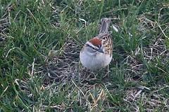 Chipping Sparrow In Front Yard 004 - Spizella Passerina (Chrisser) Tags: birds bird sparrows sparrow chippingsparrows chippingsparrow spizellapasserina nature ontario canada canoneosrebelt6i canonef75300mmf456iiiusmlens passerellidae