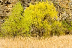 Willows Along the Rock Face (otterman51) Tags: burlington canada landscape ontario ortbaldauf tree colours escarpment nature niagaraescarpment ortbaldaufcom outdoors photography quarry spring willow rocks color yellow swamp grasses