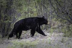 Bears are out . . .  (Explored) (JLS Photography - Alaska) Tags: alaska alaskalandscape alaskawildlife blackbear bear jlsphotographyalaska nature nationalgeographicwildlife animal wildlife forest