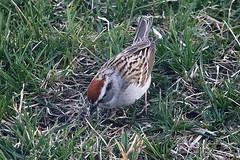 Chipping Sparrow In Front Yard 005 - Spizella Passerina (Chrisser) Tags: birds bird sparrows sparrow chippingsparrows chippingsparrow spizellapasserina nature ontario canada canoneosrebelt6i canonef75300mmf456iiiusmlens passerellidae