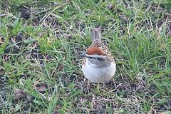 Chipping Sparrow In Front Yard 006 - Spizella Passerina (Chrisser) Tags: birds bird sparrows sparrow chippingsparrows chippingsparrow spizellapasserina nature ontario canada canoneosrebelt6i canonef75300mmf456iiiusmlens passerellidae