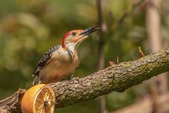 Red bellied woodpecker (Lynn Tweedie) Tags: wood bokeh beak tail redbelliedwoodpecker wing canon ngc animal 7dmarkii missouri sigma150600mmf563dgoshsm bird tree green eos feathers eye branch