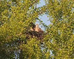 Tompkins red-tail nestling (Goggla) Tags: rth hawk chick nyc new york manhattan east village tompkins square park urban wildlife bird raptor red tail nestling baby ginkgo nest 2019