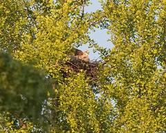 Tompkins red-tail nestling (Goggla) Tags: rth hawk chick nyc new york manhattan east village tompkins square park urban wildlife bird raptor red tail nestling baby ginkgo nest 2019 goglog