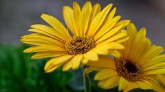 (Desmojosh) Tags: daisy flowers m50 canon yellow close ef 70200mm f28 nj spring