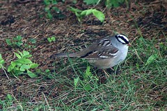White-Crowned Sparrow In Backyard 003 - Zonotrichia Leucophrys (Chrisser) Tags: birds bird sparrows sparrow whitecrownedsparrows whitecrownedsparrow zonotrichialeucophrys nature ontario canada canoneosrebelt6i canonef75300mmf456iiiusmlens passerellidae