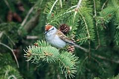 Chipping Sparrow In Backyard 001 - Spizella Passerina (Chrisser) Tags: birds bird sparrows sparrow chippingsparrows chippingsparrow spizellapasserina nature ontario canada canoneosrebelt6i canonef75300mmf456iiiusmlens passerellidae