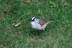 White-Crowned Sparrow In Backyard 004 - Zonotrichia Leucophrys (Chrisser) Tags: birds bird sparrows sparrow whitecrownedsparrows whitecrownedsparrow zonotrichialeucophrys nature ontario canada canoneosrebelt6i canonef75300mmf456iiiusmlens passerellidae