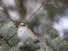 A quiet time! (Jeannine St-Amour Photography) Tags: bird songbird sparrow whitethroatedsparrow nature wildlife