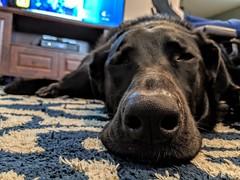 365/137 2019-05-17_09-58-58 sooooo tired  explored (lroffol) Tags: pets dog 375