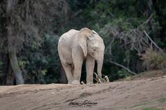 Mkhaya (ToddLahman) Tags: mkhaya africanelephant elephants escondido elephantvalley elephantbaby portrait photooftheday photographer photography mammal female beautiful nikond500 nikonphotography nikon sandiegozoosafaripark safaripark
