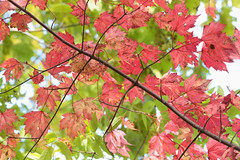 Autumnal Red & Green (peterkelly) Tags: digital canon 6d northamerica wheatley ontario canada pierroad tree branch redmaple red green leaves leaf autumn fall