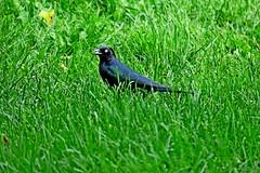 Brewer's Blackbird, Carnation, WA 5/17/19 (LJHankandKaren) Tags: snoqualmievalley blackbird brewersblackbird