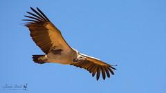 White-backed Vulture (Jennie Stock) Tags: inflight chobe gypsafricanus whitebackedvulture