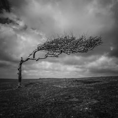 Alone (Lloyd Austin) Tags: eastbourne england unitedkingdom wenthill eastsussex tree alone isolated outside blackandwhite mono landscape hawthorn sky sigma1750mm nikond7200