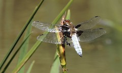 Full Display (Kevin Pendragon) Tags: dragonfly chaser broad bodied blue brown wings four foursome reeds green water river light sun sunshine heat summer insect outdoors outside male nature naturephotography
