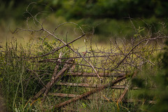 Fancy fence (Inka56) Tags: smileonsaturday fancyfence fence bird branches thorns flower bush mess fallenfence nationalgeographicwildlife cettiswarbler svilorepicvrčić cettiacetti
