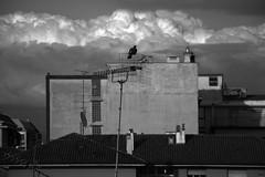 ..non so che fare.. (giovannazorzenon) Tags: bianconero cielo città allaperto animali uccello