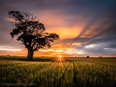 Entre campos de cereal. (Roberto_48) Tags: sunset atardecer puesta sol castilla leon aranda campillo arbol solitario campos cereal meseta castellana rayo rayos