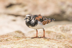Ruddy Turnstone D85_8230.jpg (Mobile Lynn) Tags: waderswetlandbird birds nature turnstone ruddyturnstone arenariainterpres bird charadriiformes coastal fauna shorebird shorebirds wader waders wetland wetlandbirds wildlife seychelles