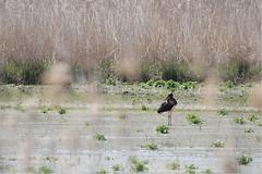 Cigogne noire (bouchet.ludivine) Tags: oiseaux bird canon canon760d etang marne argonne cigogne wetland wildlife france